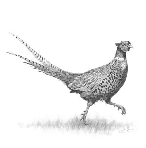 Pheasant Shooting - A Short History